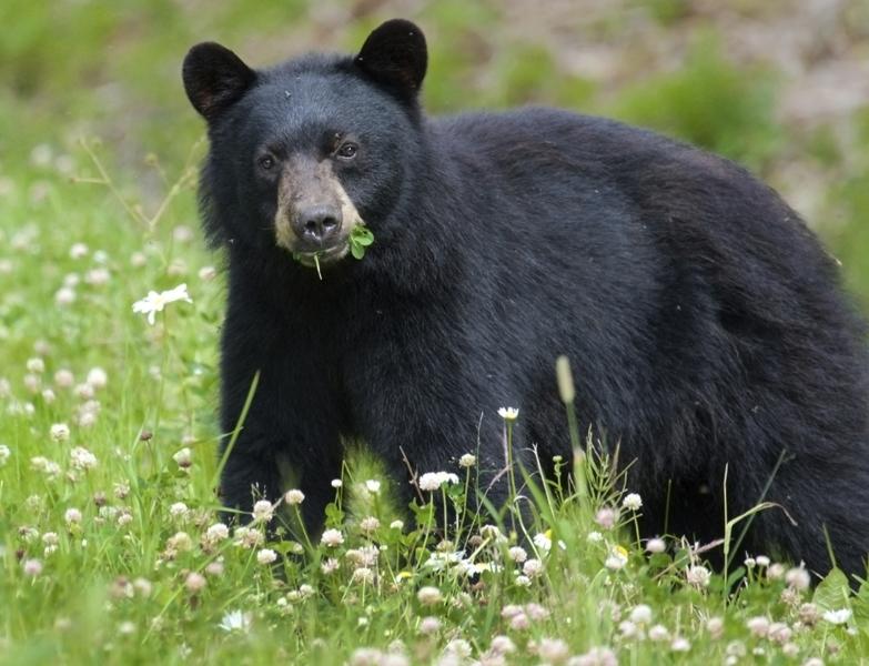 black_bear_1280176648